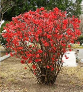 Picture of Flowering Quince