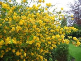 Picture of Kerria japonica